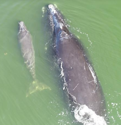 Right Whale and Calf near Coleman Condo NSB 2019